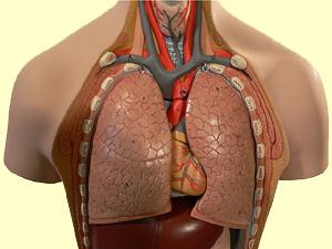 Pranayam Kundalini Yoga Anatomical Model of The Lungs